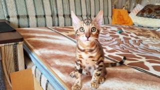 Bengal cat to buy. Bengal kittens